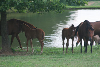 Mares & Foals at the Pond